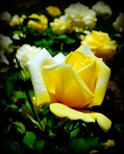 The Yellow Rose of Norwich