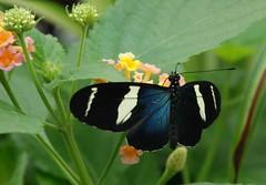 497e blue doris and pastel blooms (jjjj56cp) Tags: brazil nature spring cincinnati butterflies insects oh krohnconservatory longwing dorislongwing ringexcellence 2011butterfliesofbrazil jennypansing