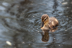 Little duck (le cabri) Tags: baby cute animal duck little small ducky canard duckie malard