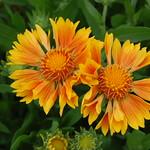 Gaillardia x grandiflora 'Oranges & Lemons' thumbnail