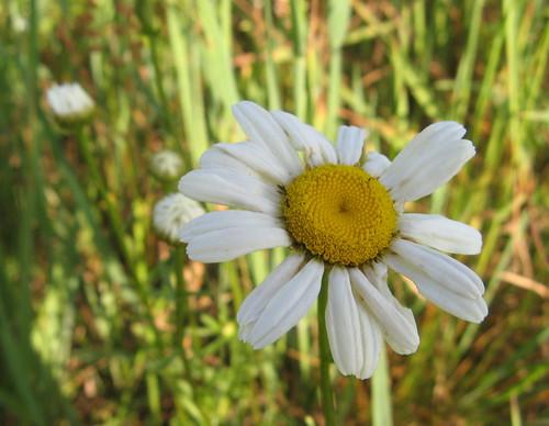 Wild daisy?