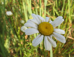 Wild daisy? Photo