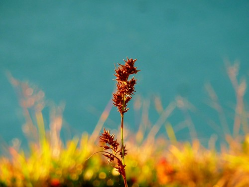 Grass seeds on the summit
