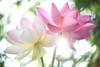 EXPLORED! Lotus Flower petals  at Sun Rise -IMG_6442-1000 (Bahman Farzad) Tags: flower macro yoga peace lotus relaxing peaceful meditation therapy lotusflower lotuspetal lotuspetals lotusflowerpetals lotusflowerpetal