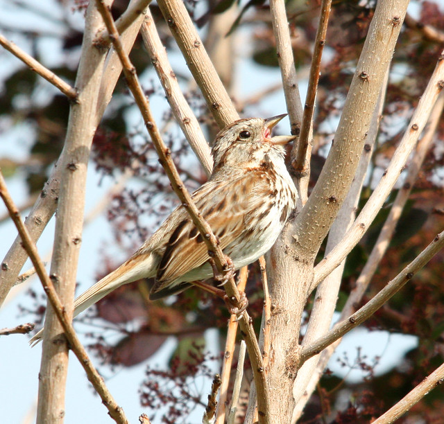 song sparrow singing 02