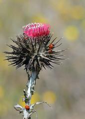 Bull Thistle (Twitchietai) Tags: california nature flora pointreyes ladybugs wildflower ptreyes coccinelle distel marienkfer  cardo chardon lieveheersbeestje  bullthistle  ladybirdbug  ladybirdbeetles cardoselvatico   tartyshots ispywinner