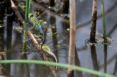 2011 Common Green Darner (Anax junius) Mating (DrLensCap) Tags: park chicago green robert nature insect fly illinois village dragon dragonfly north center il mating common kramer darner anax junius