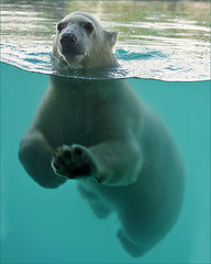 I'm Vicks, the Polar Bear (Foto Martien (thanks for over 2.000.000 views)) Tags: bear holland netherlands beer dutch mammal zoo oso cub rotterdam bjrn young nederland polarbear vicks ijsbeer br oro ours eisbr dierentuin zuidholland ursusmaritimus dierenpark oursblanc polarbr ursopolar diergaardeblijdorp osopolar zoogdier ourspolaire orsopolare thalarctosmaritimus orsobianco osoblanco ursobranco a550 zoorotterdam martienuiterweerd martienarnhem sony70300gssmlens sonyalpha550 mygearandme mygearandmepremium mygearandmebronze mygearandmesilver mygearandmegold mygearandmeplatinum dblringexcellence fotomartien borndecember62010 geboren6december2010