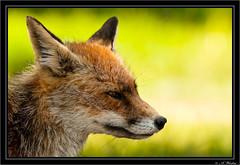 Fox (a3aanw) Tags: nikon fox vos vulpesvulpes d300 amsterdamsewaterleidingduinen nikonafsnikkor70200mmf28gedvrii amsterdamsewaterleidingduinenawd