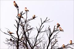 birds (loop_oh) Tags: rosebreastedcockatoo cockatookakadukakadusrosakakadugalahcockatooroseatecockatoopinkandgreygalahgalahsaustralienaustraliadownunderdownunderoutbacknorthernterritoryayersrockredcentresafariadventuretoursadventurekatatjutatheolgasolgasuluruerld