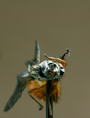 Fly on a pin. (The Black Beret.) Tags: macro 50mm fly wings pin corpse bellows jeffgoldblum canoneos1d