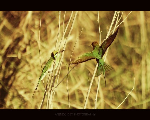 Green Bee-Eaters in the Grass