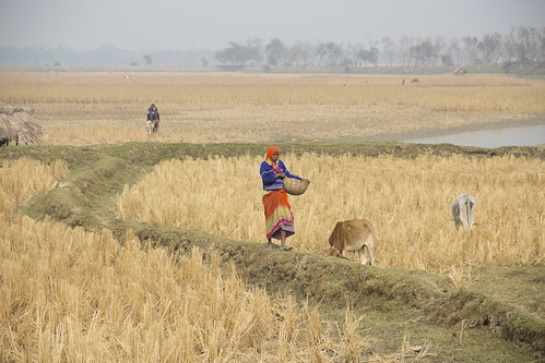 A farmer walks along the edges of expansive ricefields, Bangladesh. Photo by Samuel Stacey, 2012