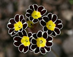 Primula (Liisamaria) Tags: perfectpetals awesomeblossoms saariysqualitypictures flowersorinsectsmacro oracope coppercloudsilversun