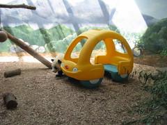 MY Yellow Car!!! (Pandaholic) Tags: panda po zooatlanta pandas yellowcar