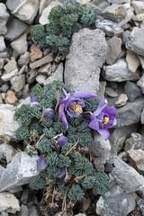 SDIM7697cp Jones' Columbine (AlbertaScrambler) Tags: montana purple aquilegia ranunculaceae 2012 choteau bobmarshall 5petals wfgna aquilegiajonesii jonescolumbine mountwright albertascrambler