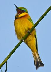 Little bee-eater (NewbyGaronga) Tags: birds little kenya african wildlife panasonic mara masai beeeater