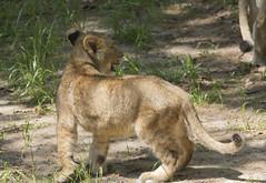 National Zoo Tue 13 May 2014 (376) African Lion (smata2) Tags: washingtondc smithsonian dc leo lion katze bigcats lowe pantheraleo nationscapital smithsoniannationalzoo greatcats itsazoooutthere zoosofnorthamerica flickrbigcats