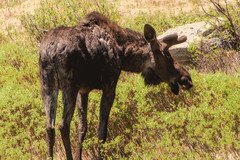 snacking (bNYB) Tags: mountains photography spring wildlife scenic moose wyoming snowrange bnyb