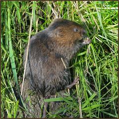 Water Vole (Full Moon Images) Tags: cambridge nature water animal mammal wildlife milton vole cambridgeshire ratty