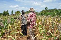 Sorghum, cowpeas and pigeon peas trials in Wote, Eastern Kenya (CGIAR Climate) Tags: farmers kenya sorghum agriculture climate pigeonpeas wote ccafs cowpeas amkn cgiarclimate