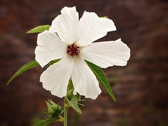 Hibiscus meraukensis- Merauke hibiscus (loveexploring) Tags: white flower australia hibiscus wildflower westernaustralia australiannativeplant hibiscusmeraukensis meraukehibiscus