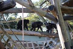 26-06-2014-taronga 025 (tdierikx) Tags: lisa chimpanzee taronga tarongazoo kuma fumo shikamoo 26062014taronga tdierikx