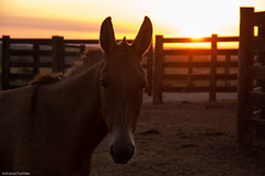 af1407_9860 (Adriana Fchter) Tags: sunset brazil horses horse beauty silhouette brasil rural caballo cheval star state farm country symmetry burro fries jumento cavalos ameland impressed pferde cavalo pferd finest natures equine fazenda paard paarden sweetface equino slott equines friese friesche pferden mywinners friesische professionalequineimages snogeholms