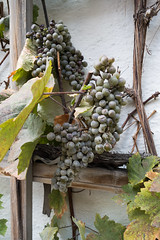Grapes on the vine (quinet) Tags: 2013 allemagne deutschland germany munichstatemuseum mnchen stadtmuseummunich trauben grapes raisins munich bavaria