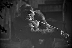 Teeth floss (Pics4life.nl off and on next week) Tags: gorilla teethfloss zoo ouwehandsdierenpark rhenen netherlands