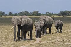 10076349 (wolfgangkaehler) Tags: 2016africa african eastafrica eastafrican kenya kenyan amboseli amboselikenya amboselinatlparkkenya amboselinationalpark wildlife mammal elephant africanelephant africanelephantloxodontaafricana herd babyanimal babyanimals babyelephant
