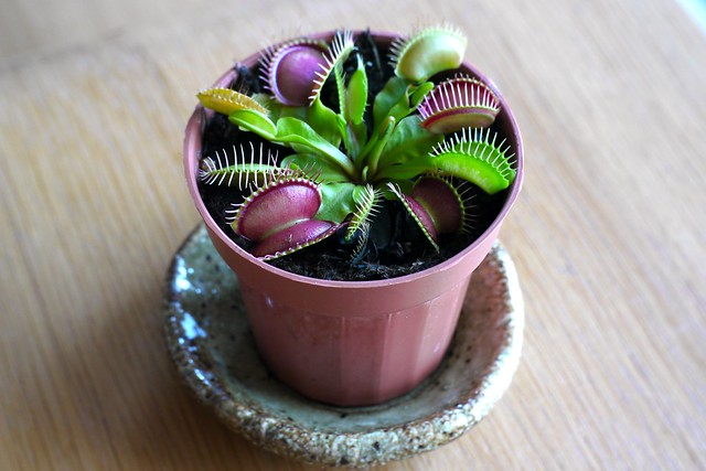 satiated Dionaea muscipula