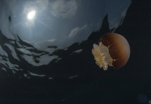 Cannonball Jelly by NOAA