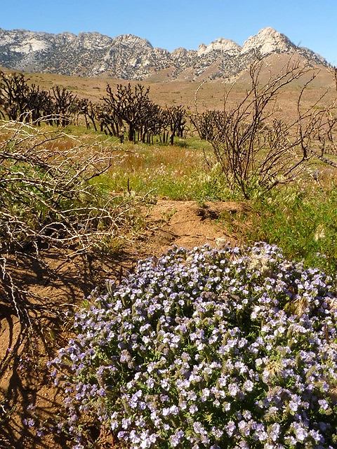 Phacelia Encroaches on Indian Wells Burn Area