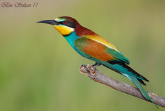 European Bee eater    -   () Tags: bird birds european bin bee sultan qatar eater beeeater  birdwatchers