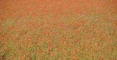Usmate - campo di papaveri (ScaniaTheKing87) Tags: red italy nikon italia poppy poppies land campo rosso brianza papaveri lombardy papavero 2011 velate usmate d3000
