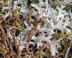 Cladia inflata and Cladia retipora (Cladoniaceae) (Pat McCarthy (Canberra)) Tags: australia nsw lichen cladia mortonnationalpark cladoniaceae cladiaretipora arfp nswrfp arflichen wetsclerophyllaf cladiainflata