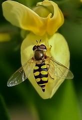 Terrasjeskommazweefvlieg - Migrant hoverfly - Eupeodes corollae (from Yves) Tags: diptera tweevleugeligen syrphidae zweefvliegen 100mm fabricius 1794 specinsects