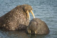 Walrus (D-Niev) Tags: norway svalbard