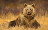 Himalayan brown bear (Zahoor-Salmi) Tags: zahoorsalmi salmi wildlife pakistan wwf nature natural canon birds watch animals bbc flickr google discovery chanals tv lens camera 7d mark 2 beutty photo macro action walpapers bhalwal punjab