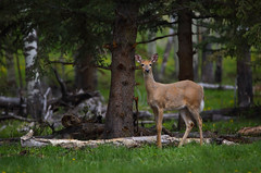 White-tailed deer (ashockenberry) Tags: