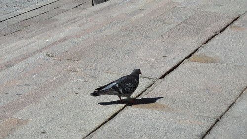 Pigeon, Turku (20110603)