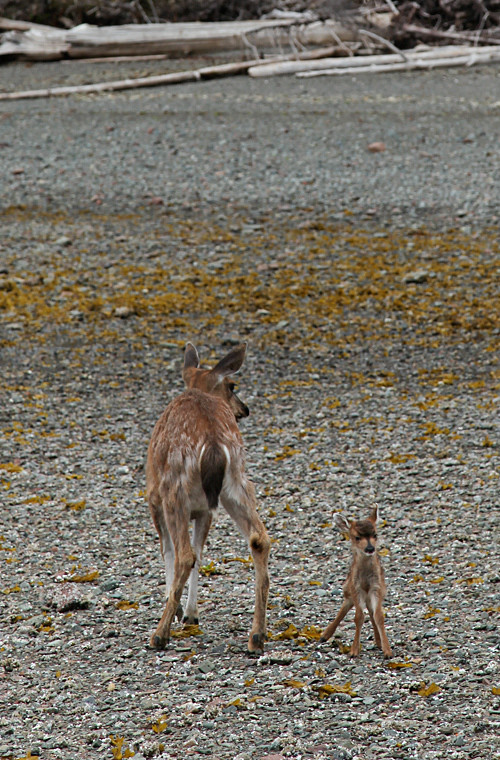 tiny fawn and mother deer on the beach, Kasaan, Alaska