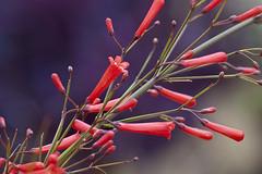 Russelia equisetiformis – Springbrunnenpflanze (Karl Hauser) Tags: flowers españa flower andalucía spain flora pflanzen spanien marbella russeliaequisetiformis russelia equisetiformis kniebiskarle