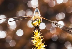 A Friendly Dragonfly (Emery O) Tags: wisconsin canon dragonfly skimmer wausau odonata lseries 180mm 50d 580exii 4spottedskimmer bluegillbay