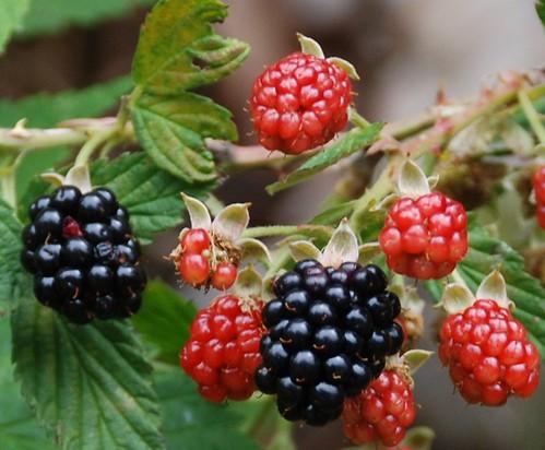 109e2 bountiful berries