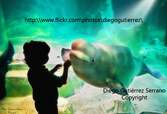 YULKA AND FRIEND (Di Gutti (diegogutierrez79@gmail.com)) Tags: city blue friends baby white amigos cute art love water valencia smile animal silhouette canon children happy aquarium couple underwater arte friendship pair science friendly whale sonrisa silueta cac beluga artic amicizia acquario amistad acuario tenderness ciencia ballena amie gettyimages liking artico oceanografic oceanografico yulka affinity spontaneity comunidadvalenciana ciudaddelasartesylascienciasdevalencia canariosdemar gettyiberiasummer