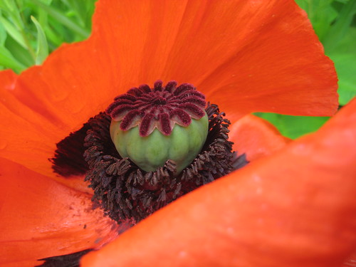 Poppyprint's poppies 2011