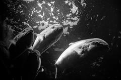 Aquarium (pas le matin) Tags: blackandwhite bw fish swimming swim aquarium nager noiretblanc nb poisson nausicaa nage boulognesurmer aquariumnausicaa