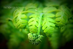 fern II (rinathompsonphotography) Tags: newzealand fern green nature forest nz rinathompson